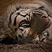 Tiger 3 Art Print