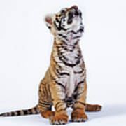 Tiger Cub (panthera Tigris) Looking Up, Against White Background Art Print