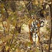 Tiger In The Undergrowth At Ranthambore Art Print