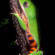 Tiger Leg Monkey Frog Art Print