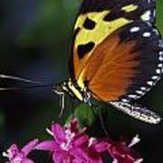 Tiger Longwing Butterfly Art Print