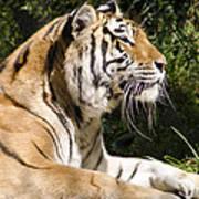 Tiger Observations Art Print