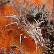 Tiger Shrimp On Orange Sponge, Bali Art Print