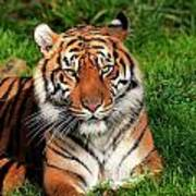Tiger Sitting In The Grass Art Print