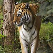 Tiger Walking Art Print