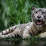 Tiger White Art Print