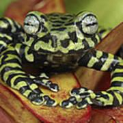 Tigers Treefrog Hyloscirtus Tigrinus Art Print