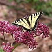 Tigertale Butterfly Art Print
