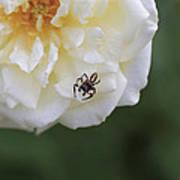 Tiny Spider  Art Print
