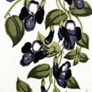 Torenia Asiatica Pulcherrima Art Print