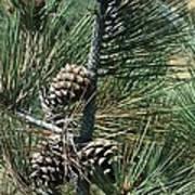 Torrey Pine Cones Art Print