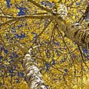 Towering Autumn Aspens With Deep Blue Sky Art Print