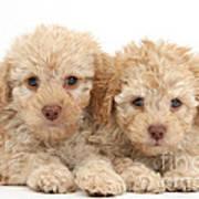 Toy Labradoodle Puppies Art Print