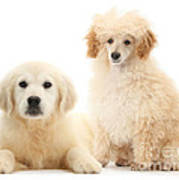Toy Poodle And Golden Retriever Art Print
