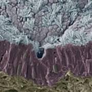 Trachea Mucous Membrane, Sem Art Print