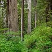 Trail Through Redwoods Art Print