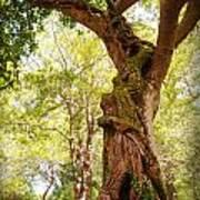Tree At Killarny Forest Art Print