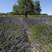 Tree In A Field Of Lavender. Provence Art Print