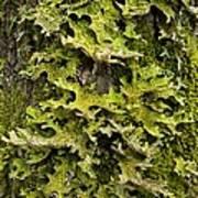 Tree Lungwort (lobaria Pulmonaria) Art Print