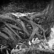 Tree Roots1 Art Print