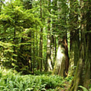 Trees At Cathedral Grove Art Print