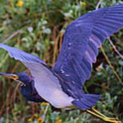 Tricolored Heron In Flight Art Print