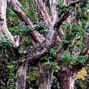 Triplet Trees Art Print by Beverly Hammond