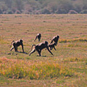 Troop Of Baboons  Art Print