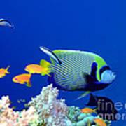 Tropical Fish Angelfish  Art Print