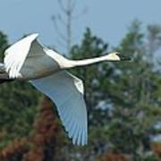 Trumpeter Swan In Flight Art Print