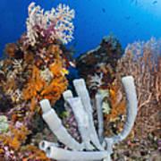 Tube Sponge On Coral Reef In Raja Art Print
