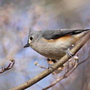 Tufted Titmouse - On The Slope Art Print