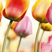 Tulip - Impressions 1 Art Print