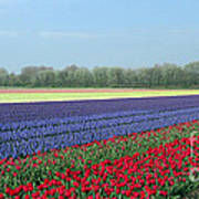 Tulip And Hyacinth Fields In Holland. Panorama Art Print