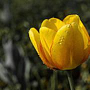 Tulip Drops Art Print