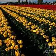 Tulip Fields Forever Art Print