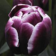 Tulip Gavota Art Print