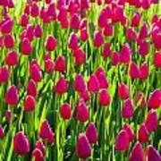 Tulip Time Art Print