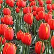 Tulips At Boston Public Garden Art Print