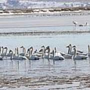 Tundra Swan - 0056 Art Print