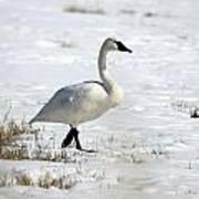Tundra Swan - 0060 Art Print