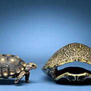 Turtle Looking At Larger, Empty Shell Art Print