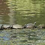 Turtle Traffic Jam Art Print