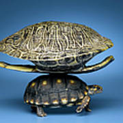 Turtle With Larger Shell On Back Art Print