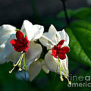Twin Bleeding Heart Vine Flowers Art Print