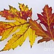 Two Autumn Maple Leaves  Art Print