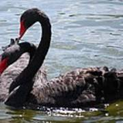 Two Black Swans Art Print