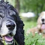 Two Cocker Spaniel Dogs Art Print