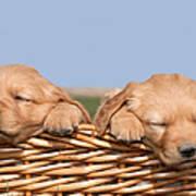 Two Cute Puppies Asleep In Basket Art Print