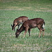 Two Does Grazing Art Print
